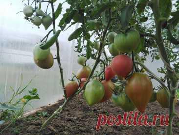 Сладкие помидоры. Как улучшить вкус томатов во время созревания   Мое любимое подворье   Яндекс Дзен