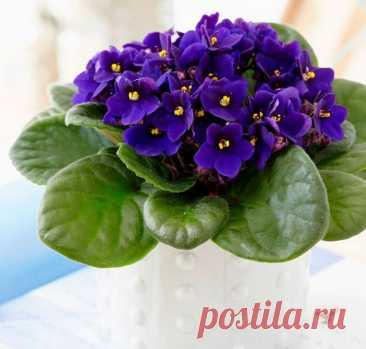 Сенполия (Узамбарская фиалка): уход в домашних условиях, размножение