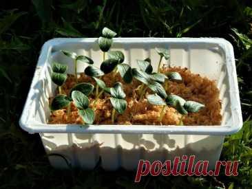 Всего за сутки проращиваю любые семена огурцов, проще способа еще не встречала   Рекомендательная система Пульс Mail.ru