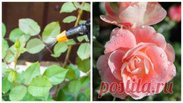ПРАВИЛЬНАЯ ПОДКОРМКА РОЗ ВЕСНОЙ - Нявочка Роза безусловно является королевой цветов и прекрасным украшением участка. Но все знают ,что эта красавица очень требовательна в уходе. Если весной не сделать правильные и нужные подкормки,то она навряд ли порадует вас долгим и пышным цветением. Поэтому в нашей статье мы расскажем какие правильные подкормки сделать весной для того, чтобы ваша роза цвела обильно весь […]