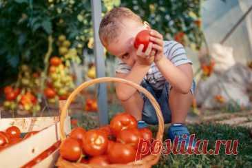 Выбираем томаты. Чем отличаются индетерминантные и детерминантные сорта? — Ботаничка.ru