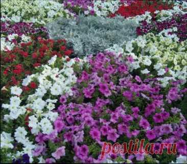 Низкорослые сорта цветов для клумбы | ВО САДУ И В ОГОРОДЕ