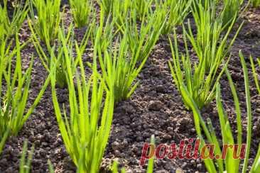 Как правильно выращивать лук на головку и на перо | Азбука огородника | Пульс Mail.ru Добрый день, мой читатель. Опытные садоводы сажают на участке две грядки лука — на перо и на головку. Между этими посадками существуют некоторые различия.