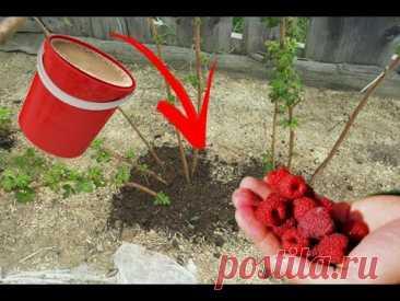 СРОЧНО под малину весной внесите это удобрение! Много урожая и крупной ягоды!