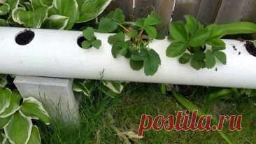 La cultivación de la fresa en los tubos PVH – la instrucción para que comienzan de los vídeos   la Fresa (Огород.ru)