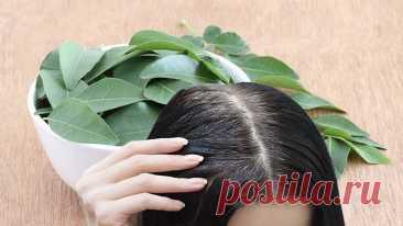 Вернуть цвет седым волосам может помочь индийское растение Не стоить путать листья карри с порошком, который представляет собой смесь нескольких специй. Растение произрастает в Индии, Шри-Ланке и других странах