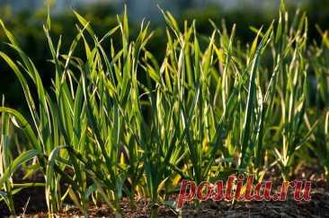 Сибирь изобрела уникальную методику посадки чеснока: без урожая не останетесь | Идеальный огород | Яндекс Дзен