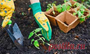 Перед высадкой томатов добавляю 4 важных удобрения и собираю в 2 раза больший урожай: делюсь своим опытом | Эксперт по сельской жизни | Яндекс Дзен