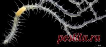 Чего только природа не выдумает! Рассказываем про очередного причудливого обитателя морских глубин.