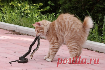 Бобтейл: Бесхвостый кот с жаждой приключений. Порода, которую нужно выгуливать, как собак!   Книга животных   Яндекс Дзен