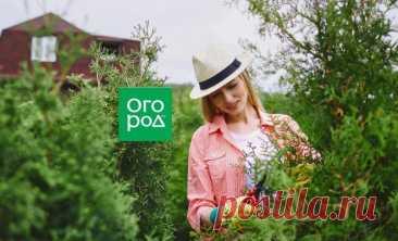 Что делать с туями в конце лета и осенью: 5 обязательных процедур для успешной зимовки   В цветнике (Огород.ru)