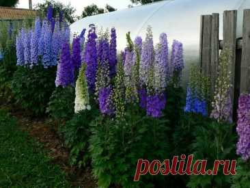 Какие цветы я высаживаю около забора, которые смотрятся очень красиво и заманчиво, заставляя остановиться любого прохожего   6 соток