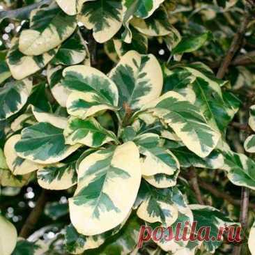 """Комнатное растение Пизония (Pisonia). Это растение, похожее своими листьями на фикус, получило название в честь нидерландского натуралиста В.Пизо (1611-1648). Пизонии - небольшие деревья и кустарники, произрастающие в тропиках и субтропиках Австралии и Новой Зеландии. Основанием для другого названия пизоний послужило выделяемое ими липкое вещество - именно благодаря ему они известны и как Birdcatcher Tree - """"дерево-птицелов""""."""