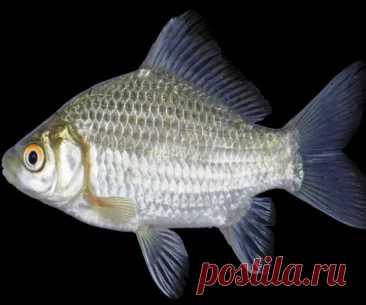 Что значит приворот на карасе?Как сделать заговор на любовь используя рыбу?