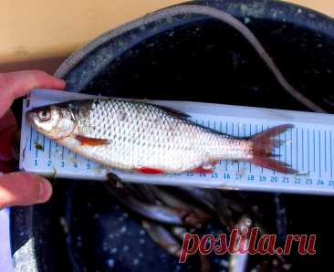 Справедливы ли минимальные размеры для вылова рыбы, которые установлены Росрыболовством | РЫБАЛКА С МИХАЛЫЧЕМ | Яндекс Дзен