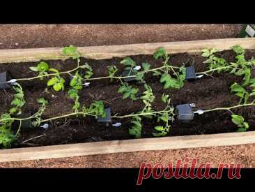 Высадка томатов в теплицу! Секреты ранней посадки рассады