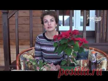 Как выращивать пуансеттию Рождественская звезда