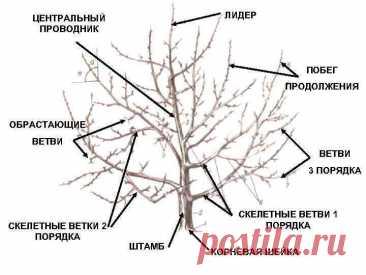 Что делать, если молодое дерево утратило свой центральный проводник?
