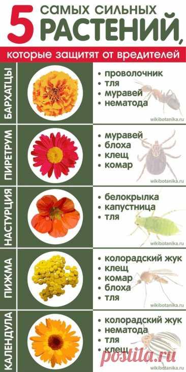 5 самых сильных растений, которые защитят от насекомых-вредителей