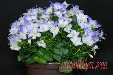 Прекрасная Кампанула — цветок, которым можно любоваться до октября. Рассказываю про все тонкости ухода за домашним привередой Кампанула — многолетнее растение, высота которого в среднем 30-50 см. Цветки могут быть голубыми, белыми и фиолетовыми. Цветет долго: с мая по октябрь. Считается привередливым растением, которому необходим тщательный уход. Прекрасная Кампанула. Иллюстрация для статьи... Читай дальше на сайте. Жми подробнее ➡
