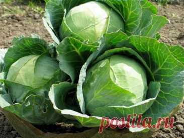 Поздние сорта капусты для длительного хранения: описание, фото
