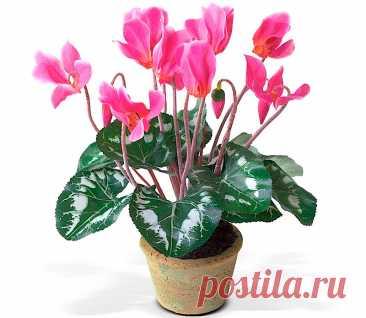 Цикламен: уход в домашних условиях, пересадка и размножение, виды Растение цикламен (Cyclamen) является частью семейства Первоцветные. Этот род объединяет от 20 до 55 видов. В природе цветок встречается на территории Средиземноморской и Центральной Европы, а еще в Малой Азии.