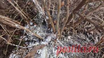 Сыпьте под смородину весной по 2 ложки!