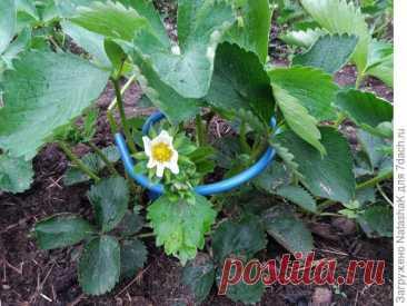 Подставка под клубнику своими руками: ягоды чистые и на землю не ложатся