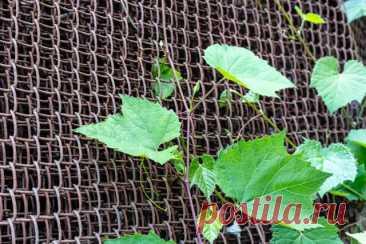 Шпалера для винограда своими руками: фото, чертежи, советы | Виноград (Огород.ru)