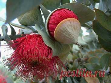 Цветение - чудеса природы А вы видели, как цветет эвкалипт?  А так цветет радужный эвкалипт. Вообще всю эту красотищу стоит посмотреть – это просто удивительные деревья и кустарники, хотя и всего лишь малая часть того, что цве…