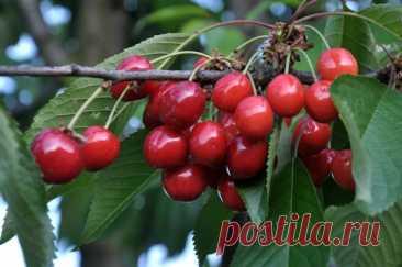 Черешня будет радовать урожаем каждый год У черешни много общего с вишней, ведь они входят в одно семейство... Читай дальше на сайте. Жми подробнее ➡
