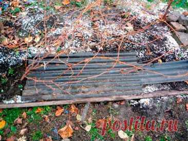 Утепление винограда перед зимой