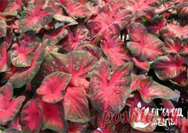 Самые красивые декоративные цветы для вашей клумбы: растения с пестрыми листьями, которые украсят любую дачу   Огород Мечты   Яндекс Дзен