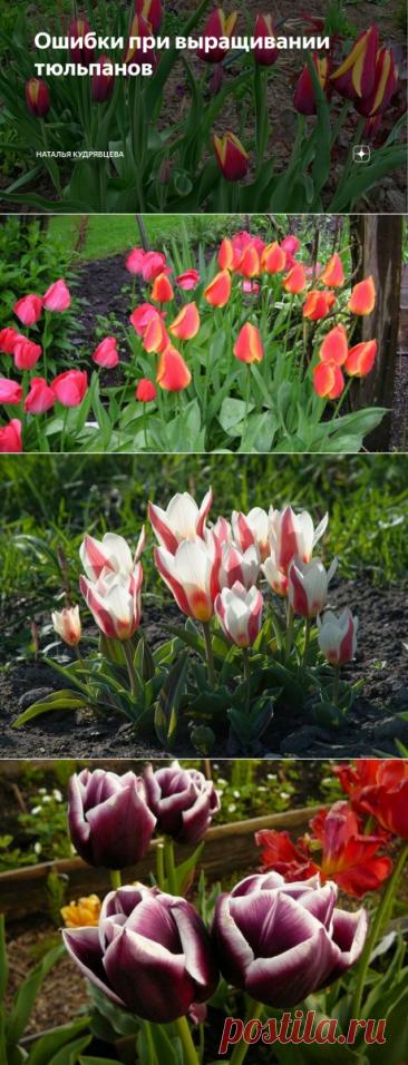 Ошибки при выращивании тюльпанов   Наталья Кудрявцева   Яндекс Дзен