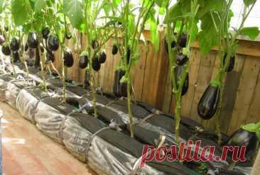 Баклажаны: посадка и уход в открытом грунте, фото в теплице, сроки посева семян, пошаговые инструкции, как вырастить из семян, посадка на рассаду, выращивание