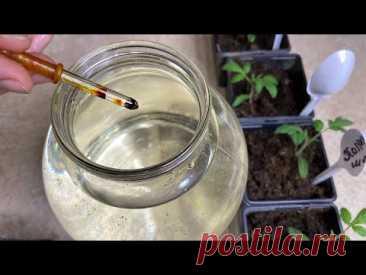 Всего одна капля на три литра воды для рассады томатов!