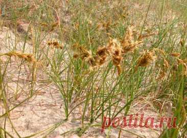Лекарственное растение Осока песчаная (Carex arenaria). Многолетнее растение высотой 10-40 см с подземными далеко ползущими побегами, причем побеги нередко образуют прямые ряды. Стебель прямостоячий, сильный, с тремя острыми гранями. Листья жесткие, желобчатые, линейные, к моменту цветения такой же длины, что и стебель, или немного короче. Листовые влагалища коричневые. Невзрачные цветки собраны в колоски, которые по 6-12 штук образуют плотную колосовидную метелку длиной 4-6 см.