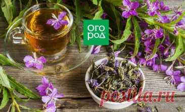 Заготовка и ферментация иван-чая – пошаговый мастер-класс с фото | Полезно (Огород.ru)