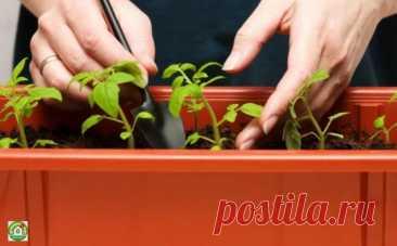 Выращиваем рассаду помидоров в домашних условиях