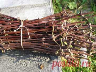 Размножение черноплодной рябины: делением куста, черенками, семенами