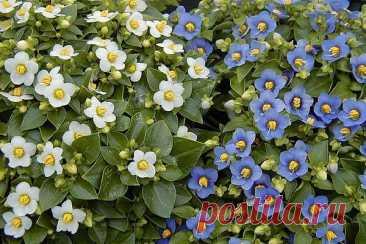 Экзакум: выращивание и уход в домашних условиях Экзакум выращивают в качестве однолетнего комнатного растения из-за обильного долгого цветения - на подоконнике горшок выглядит как целая клумба.