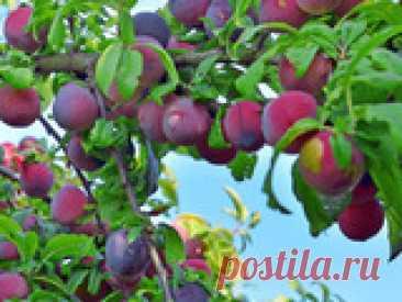 Советы по выращиванию вишни, сливы Если вы не знаете, как повысить урожай, обрезать дерево, как отбить атаки садовых вредителей, вылечить дерево, воспользуетесь советами опытных садоводов. Предлагаю подборку народных рецептов.