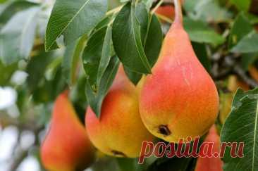 Как посадить грушу, чтобы быстро получить урожай