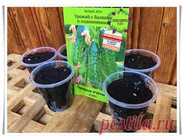 Как за 2 месяца из 4х семян вырастить несколько десятков огурцов на балконе. Мне удалось. Делюсь опытом   Палисадничек   Яндекс Дзен