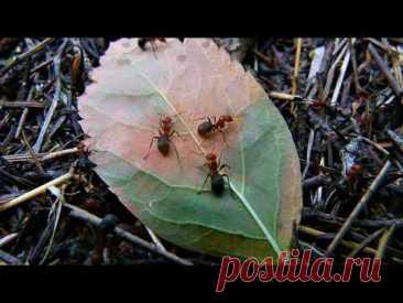 Как избавиться от муравейника в клубнике во время цветения и плодоношения
