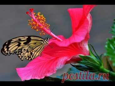 Гибискусы китайские. Обрезка. Штамбовая форма   Hibiscus - YouTube