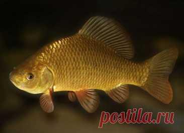 ༺🌸༻Карась: чем полезен для здоровья, свойства икры, жареной рыбы, противопоказания