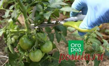 Формирование и обработка томатов в жару: как не остаться без урожая | На грядке (Огород.ru)