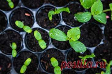 Сохраните свою рассаду: основные советы, как избежать перерастания | Азбука огородника | Яндекс Дзен