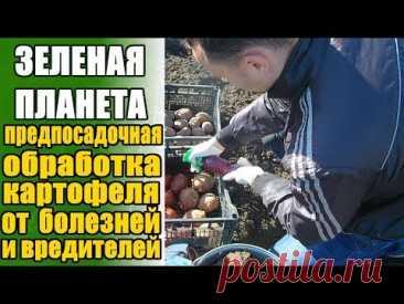 Проращиваем картофель правильно. Предпосадочная обработка клубней от вредителей и болезней.